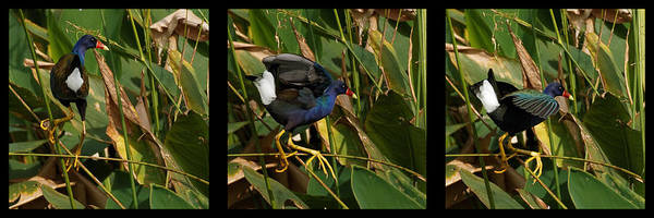 Photograph - Purple Gallinule Triptych by Dawn Currie