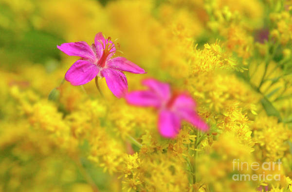 Photograph - Purple Geranium And Tall Goldenrod by Dave Welling