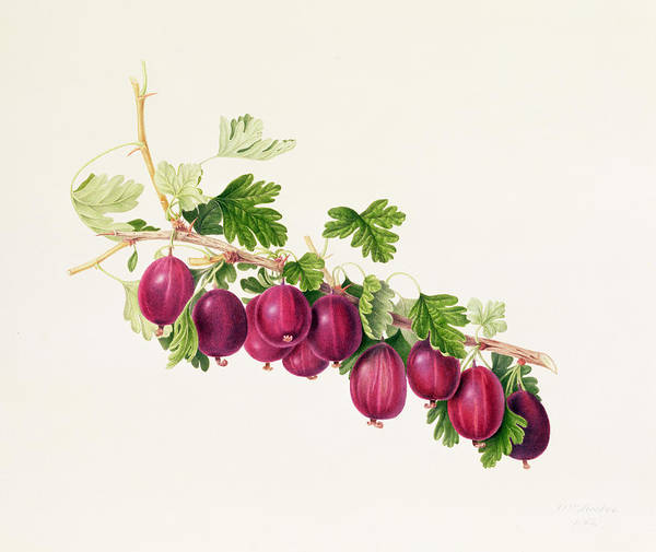 Botanical Garden Wall Art - Painting - Purple Gooseberry by William Hooker