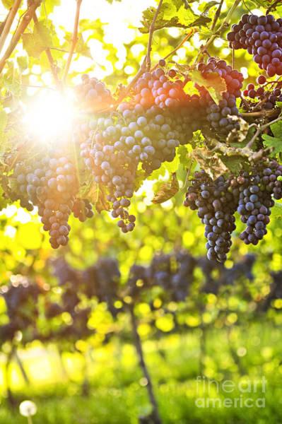 Photograph - Purple Grapes In Sunshine by Elena Elisseeva