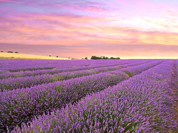 Purple Haze Photograph - Purple Haze - Lavender Field At Sunrise by Gill Billington