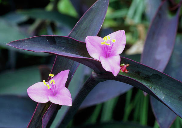 Wall Art - Photograph - Purple Heart (tradescantia Pallida) by Mike Danson/science Photo Library