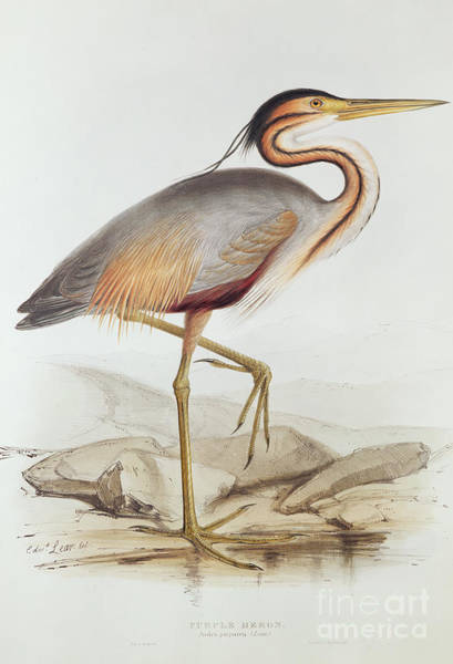 Water Fowl Painting - Purple Heron by Edward Lear