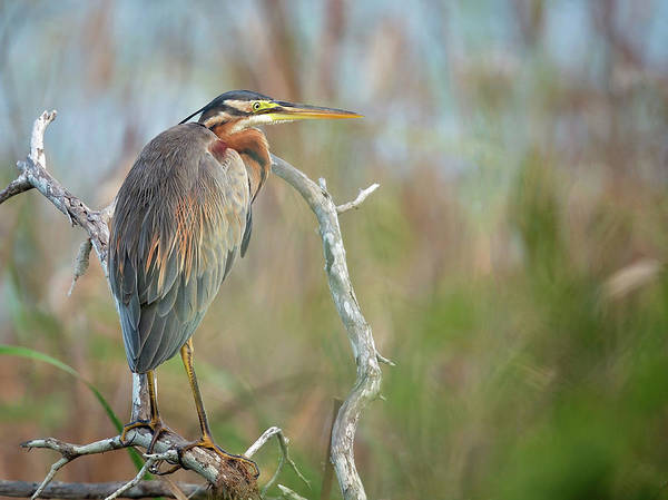 Beak Photograph - Purple Heron by Milan Zygmunt