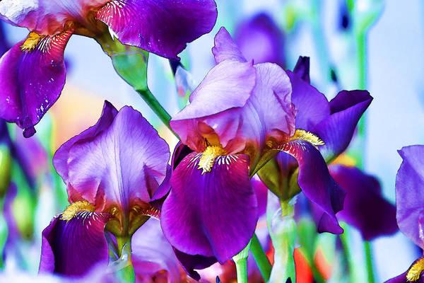 Photograph - Purple Iris Garden by Peggy Collins