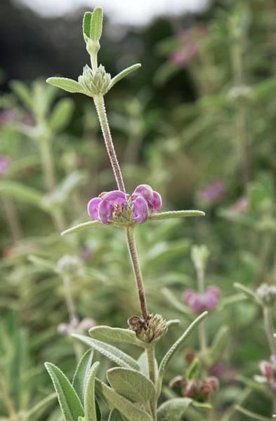 Jerusalem Photograph - Purple Jerusalem Sage (phlomis Purpurea) by Bob Gibbons/science Photo Library
