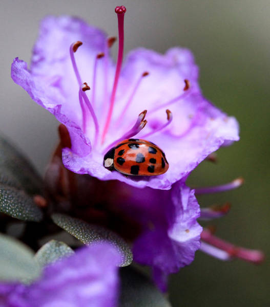 Ladybird Wall Art - Photograph - Purple Lady by Aaron Aldrich