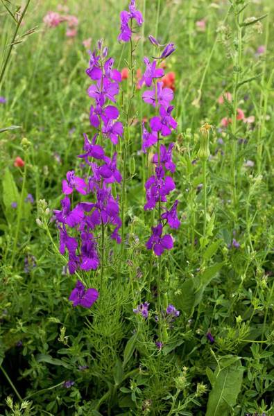 Angiosperms Wall Art - Photograph - Purple Larkspur (consolida Orientalis) by Bob Gibbons