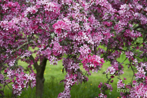 Malus Photograph - Purple Leaved Crab Apple Tree Blossom by Tim Gainey