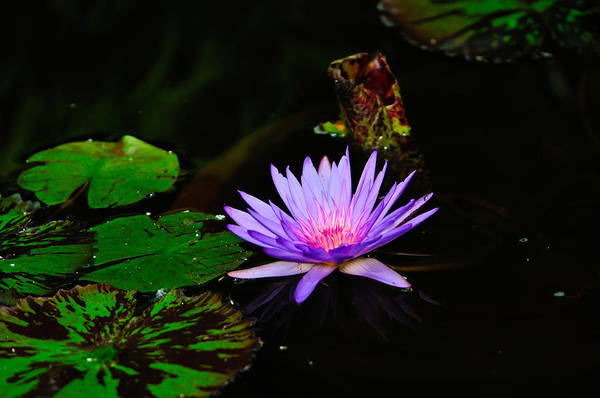 Photograph - Purple Lily by Greg Norrell