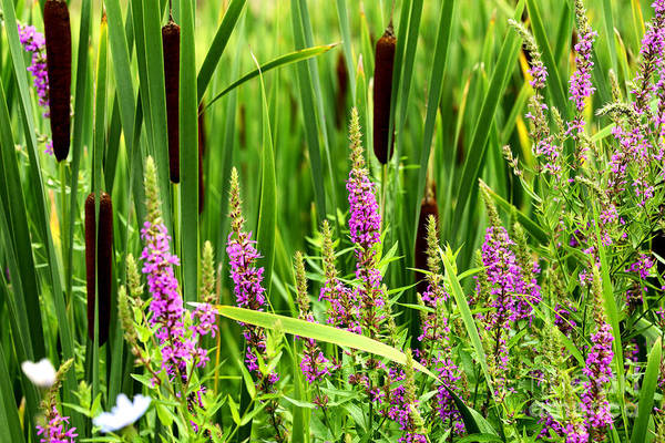 Lythrum Photograph - Purple Loosestrife And Cattails by Thomas R Fletcher
