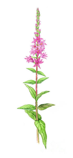 Lythrum Photograph - Purple Loosestrife by Carlyn Iverson