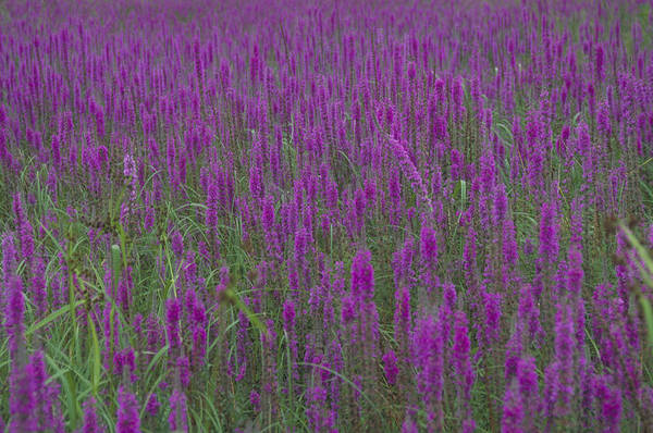 Lythrum Photograph - Purple Loosestrife by C.r. Sharp