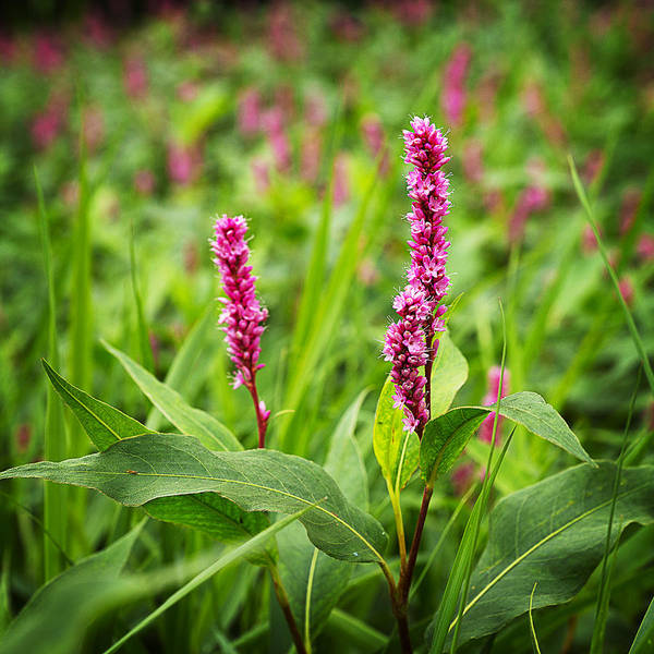 Lythrum Photograph - Purple Loosestrife In Bloom by Donald  Erickson