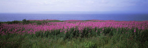 Lythrum Photograph - Purple Loosestrife Lythrum Salicaria by Panoramic Images