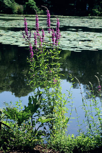 Lythrum Photograph - Purple Loosestrife (lythrum Salicaria) by Tony Wood/science Photo Library