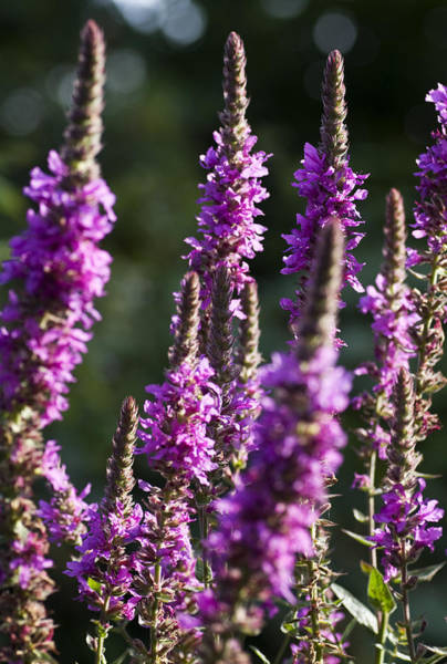 Lythrum Photograph - Purple Loosestrife by Richard Thomas