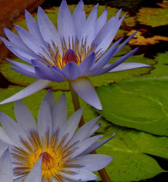 Photograph - Lotus I by Kim Pippinger