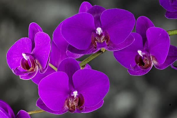 Photograph - Purple Majesty by John  Nickerson