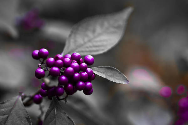 Longwood Gardens Photograph - Purple Only by Samantha Eisenhauer