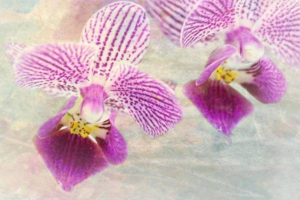 Photograph - Purple Orchid 2 by Rudy Umans