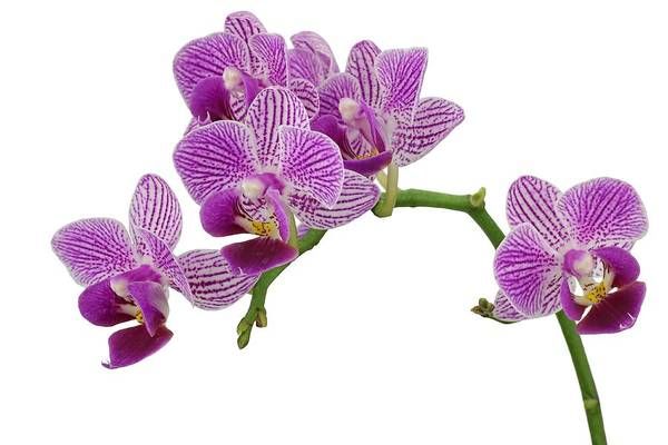 Photograph - Purple Orchid-3 by Rudy Umans