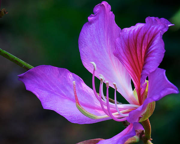 Photograph - Purple Orchid Tree Flower by Steve Kaye