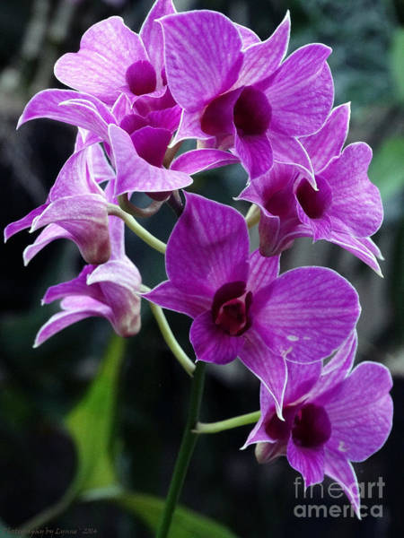 Photograph - Purple Orchids by Gena Weiser