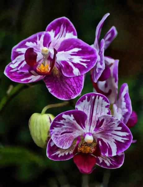 Photograph - Purple Orchids by Sandy Keeton