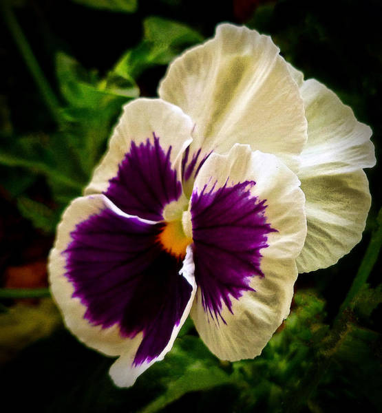 Photograph - Purple Pansy by Dave Bosse