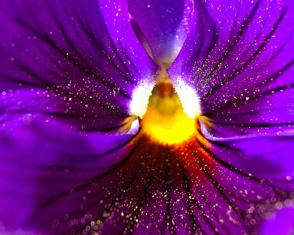 Purple Pansy Detail Art Print