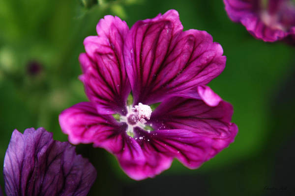 Photograph - Purple Hollyhock by Christina Rollo