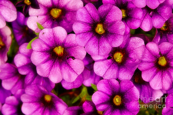 Photograph - Purple Petunias  by Nick  Biemans