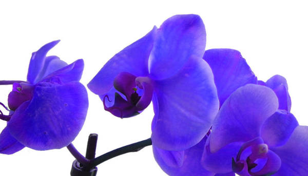 Photograph - Blue With Purple Phalaenopsis Orchid by Bill Swartwout Photography
