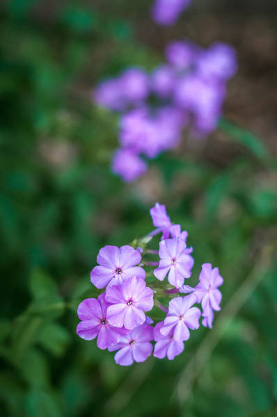 Photograph - Purple Phlox by Andy Crawford
