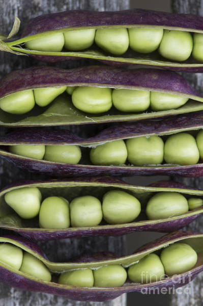 Pod Photograph - Purple Podded Pea Pattern by Tim Gainey