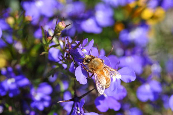 Photograph - Purple Pollination  by Crystal Hoeveler