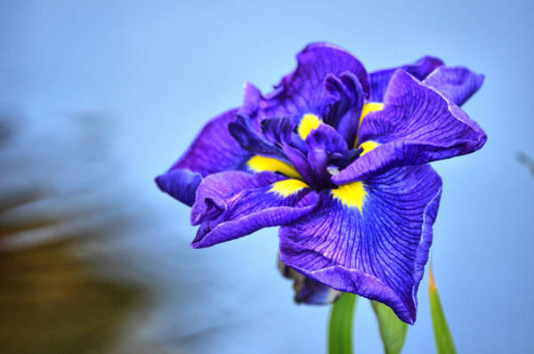 Purple Pond Iris Art Print