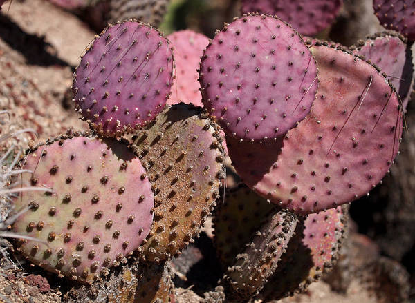 Photograph - Purple Prickly Pear Cactus by Rona Black