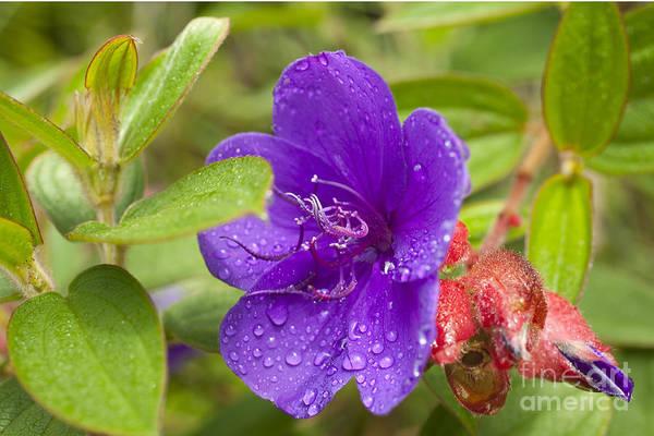 Photograph - Purple Princess Flower by Charmian Vistaunet