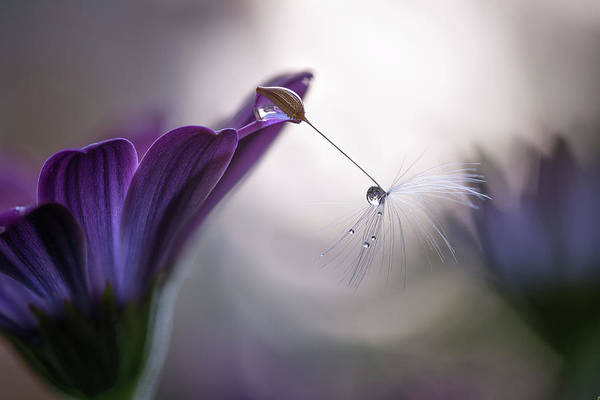 Drop Photograph - Purple Rain by Silvia Spedicato