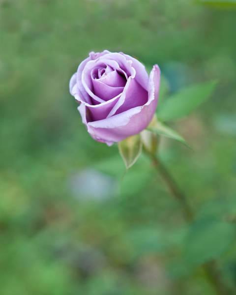 Photograph - Purple Rose by Thomas Hall