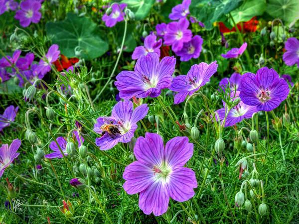 Photograph - Purple Rozanne Geraniums 002 by Lance Vaughn