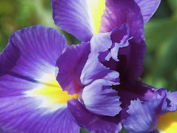 Photograph - Purple Ruffles by Denise Beverly