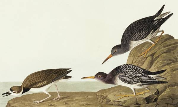 Wall Art - Photograph - Purple Sandpiper And Wilson's Plover by Natural History Museum, London/science Photo Library