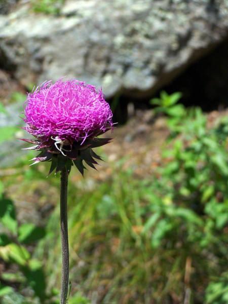 Photograph - Purple Spike  by Jennifer Robin