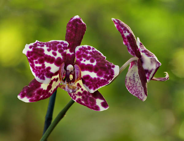 Photograph - Purple Spotted Orchid by Sandy Keeton