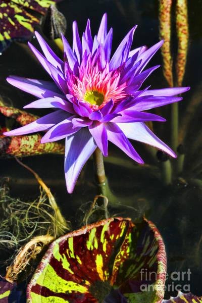 Photograph - Purple Star Water Lily  By Diana Sainz by Diana Raquel Sainz