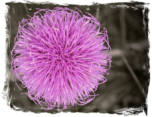 Photograph - Purple Thistle - 1 by Rudy Umans