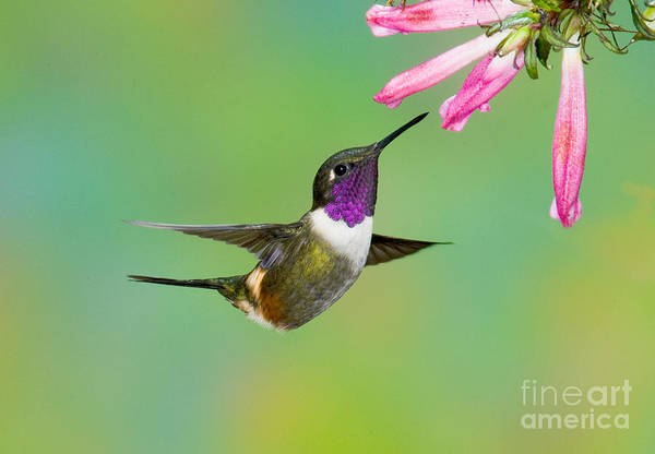 Photograph - Purple-throated Woodstar by Anthony Mercieca